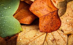 Картинка листья, макро, осень. капли воды
