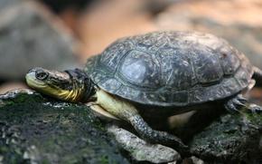 Картинка камни, черепаха