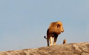 Картинка кошки, лев, большие, львенок, дикие, Детёныш