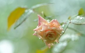 Картинка капли, роза, бутон, после дождя