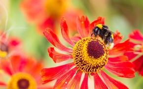 Обои шмель, лепестки, насекомое, цветок, природа