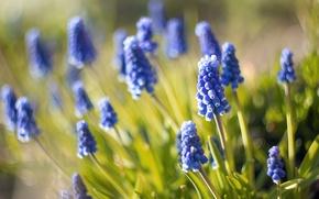 Картинка макро, размытость, nature, мускари, синие цветы