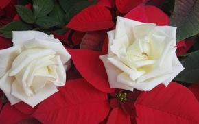 Картинка розы, дуэт, белые розы, пуансеттия