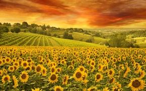 Картинка Небо, Природа, Поле, Подсолнухи, Пейзаж