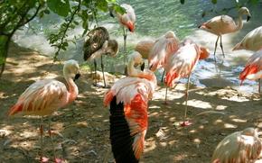 Картинка животные, птицы, фото, фламинго