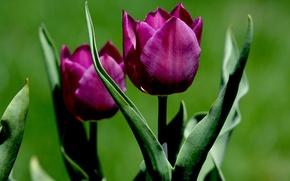 Картинка листья, природа, тюльпан, лепестки