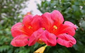 Картинка red, flowers, macro
