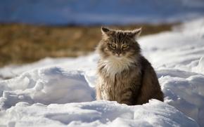 Картинка зима, кот, снег, природа, Кошка, тени