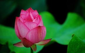 Картинка зелень, цветок, макро, розовый, лепестки, бутон, лотос