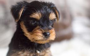 Картинка портрет, собака, пес, щенок, йорк, йоркширский терьер