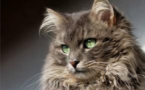 Картинка портрет, взгляд, кот