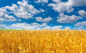 Обои облака, колосья, небо, солнце, природа, поле, пшеница