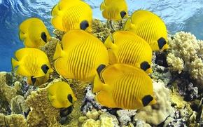 Обои море, кораллы, рыбы бабочки, океан, дайвинг, рыбки