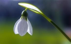 Картинка белый, цветы, свежесть, чистота, синь, весна, Подснежник, Macro on Monday, The first snowdrop, Frank Fullard