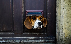 Картинка Dog, animal, situation, door, ears, nose, muzzle