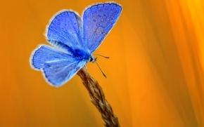 Картинка бабочка, колос, желтый фон, голубая