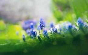 Картинка трава, цветы, фокус, синие, мускари