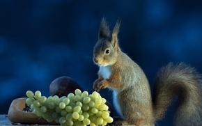 Картинка фон, белка, виноград, серая