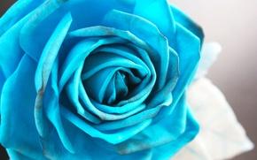 Картинка синий, голубой, роза