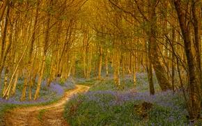 Картинка лес, деревья, цветы, тропа