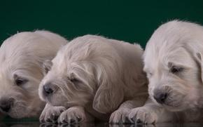 Картинка щенки, малыши, трио, золотистый ретривер