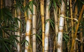 Обои бамбук, листья
