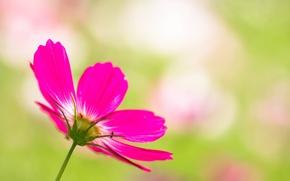Обои цветок, природа, растение, лепестки, стебель