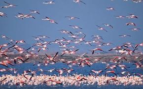 Обои небо, птицы, озеро, стая, фламинго