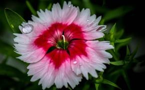 Картинка цветок, вода, капли, роса, лепестки, китайская гвоздика