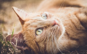Обои кошка, кот, усы, взгляд, мордочка, рыжий кот