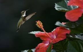 Картинка цветок, птица, фокус, колибри, гибискус