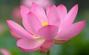 Обои цветок, краски, лепестки, лотос