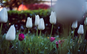 Картинка цветы, лепестки, тюльпаны, белые