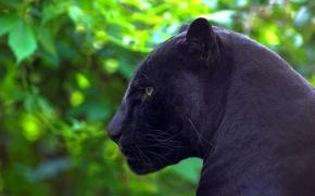 Картинка хищник, пантера, ягуар, профиль