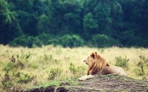 Картинка животное, лев, грива, царь зверей, lion