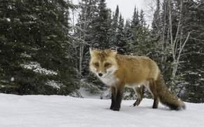 Обои глядя, лиса, снег, охота, зима