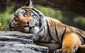 Картинка взгляд, тигр, камень