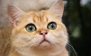 Картинка кошка, белый, кот, красивый