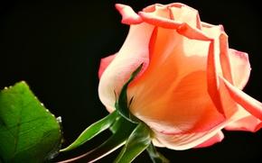 Картинка цветок, листья, роза, лепестки, бутон