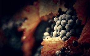 Картинка листья, роса, виноград