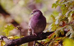 Картинка осень, листья, птицы, птица, голубь, ветка, дуб