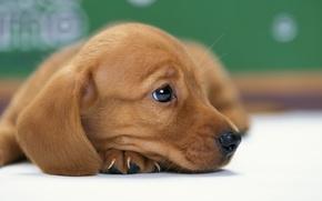 Картинка собака, щенок, такса, песик