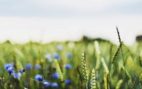 Картинка пшеница, поле, макро, цветы, синий, фон, widescreen, обои, поля, рожь, размытие, колоски, wallpaper, колосья, цветочки, ...