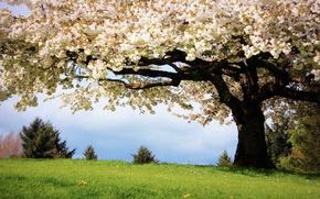 Обои дерево, цвет, природа, вишня, трава, весна
