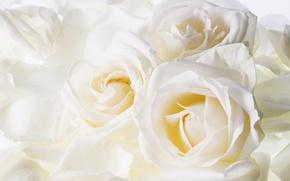 Обои нежность, цвети, рози
