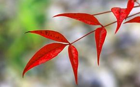 Обои природа, ветка, осень, листья, багрянец