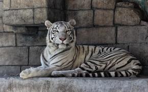 Картинка кошка, камни, белый тигр