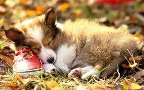 Обои сон, щенок, Ботинок