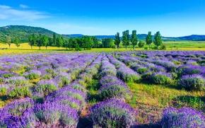 Картинка поле, деревья, природа, trees, field, nature, лаванда, lavender