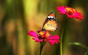 Обои цветок, цвет, Бабочка
